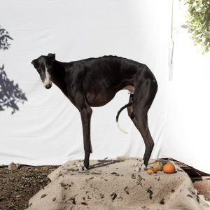 FourAndSons_Galgos_Feature
